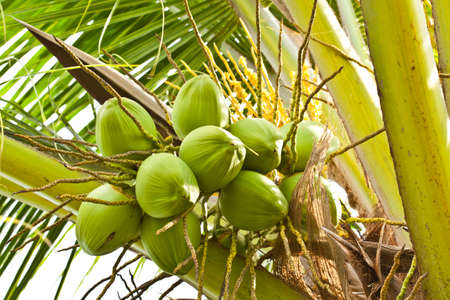 Fruit, green coconut on coconut tree