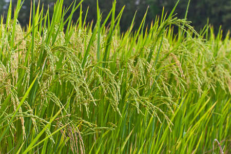 rice crop: Paddy rice in field, Thailand