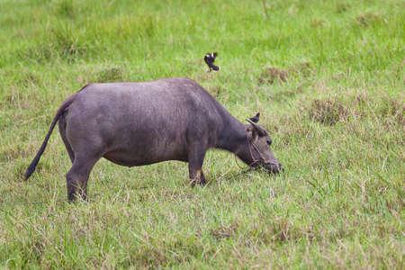 buffalo grass: Mammal animal, female Thai buffalo in grass field and bird Stock Photo