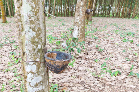 Agriculture,Rubber tree flows into a wooden bowl photo