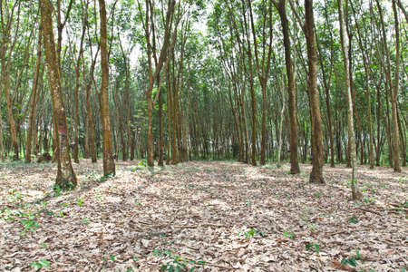 Agriculture,Rubber trees photo