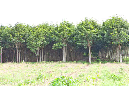 Agriculture, Rubber tree and plant growth Stock Photo - 10534117