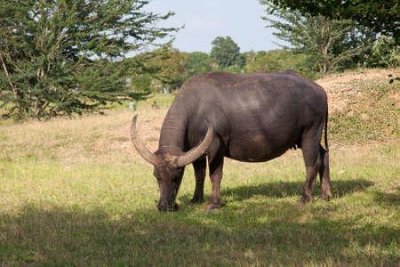 buffalo in a rice field Stock Photo - 14764744