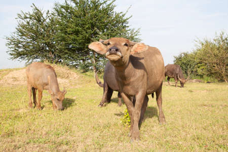 buffalo in a rice field Stock Photo - 14764788