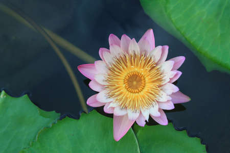 waterlily, lotus blooming in the tropical garden photo