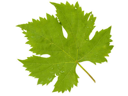 Grape leaf on white background photo