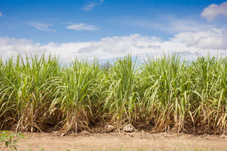 Sugarcane field and blue sky photo