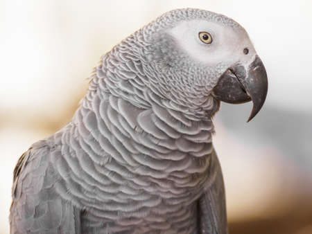 African Grey Parrot Stock Photo - 17553238
