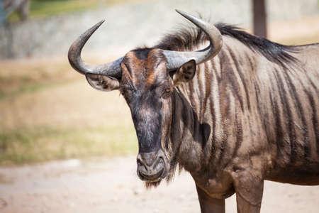 inhabits: Wildebeest standing on the ground, closeup Stock Photo