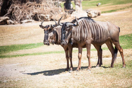 inhabits: Couple of Wildebeest standing on the ground Stock Photo