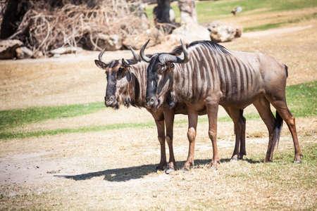 tanzania antelope: Couple of Wildebeest standing on the ground Stock Photo