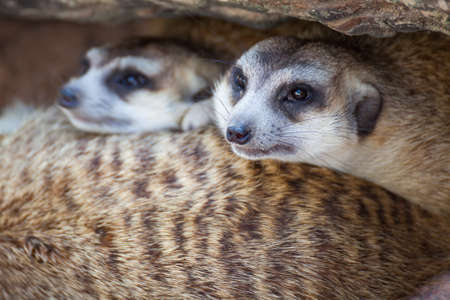 suricatta: group of meerkat (Suricata suricatta) sleeping under the timber hole