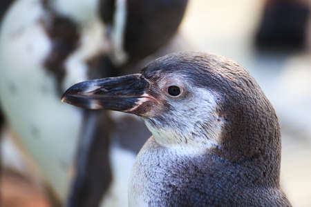 squawk: Magellanic penguin close up Stock Photo