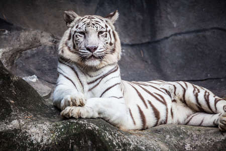 White bengal tiger, lying, relax, and watching on cliff photo