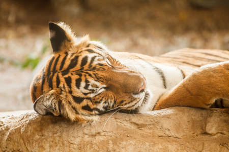 Bengal tiger is sleeping, and relax on timber under tree photo