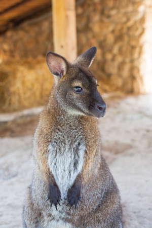 wallaby: wallaby, small kangaroo
