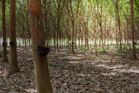 deepness: Rubber tree latex agriculture in tropical forest and bowl