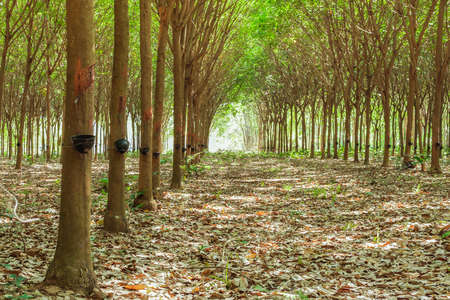 deepness: Walkway and Rubber tree latex agriculture in tropical forest with bowl