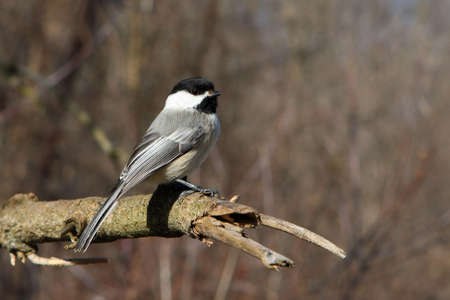 Black-capped Chickadee Perched On Branch In Winter Sun photo