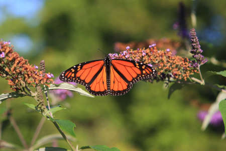 Monarch Butterfly Feeding In Afternoon Sun photo