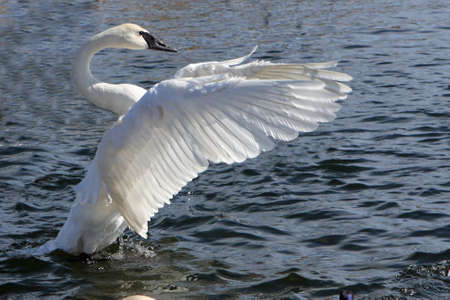 Trumpeter Swan Open Wings In Afternoon Sun Stock Photo