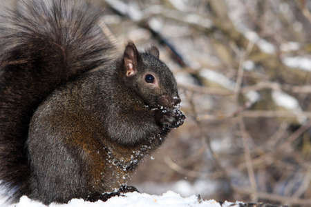 Black Squirrel Feeding In Morning Sun On Snow Stock Photo