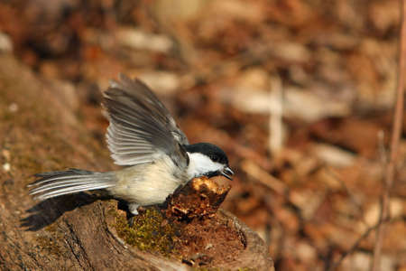 snow capped: Black-capped Chickadee Hiding Seed In Log In Morning Sun