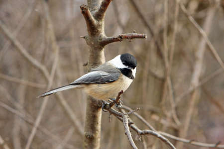 Black-capped Chickadee On Branch In Morning Sun photo