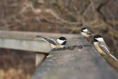 Black-capped Chickadee Perched On Boardwalk With Seeds photo