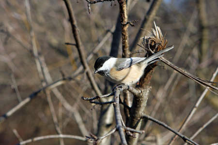 Black-capped Chickadee On Branch In Sun photo