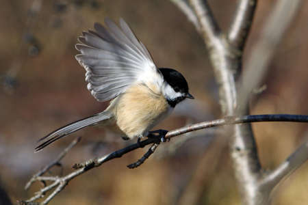snow capped: Black-capped Chickadee Perched On Branch Open Wing