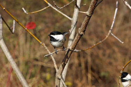 Black-capped Chickadee Perched photo