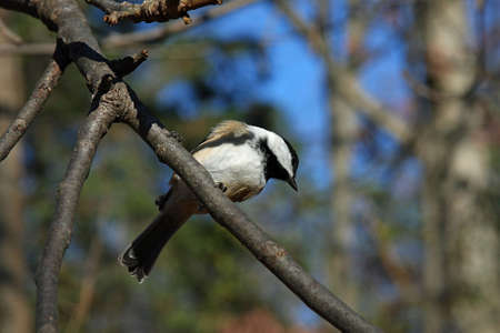 Black-capped Chickadee View From Below photo