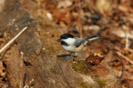 Black-capped Chickadee With Seeds In Beak In Morning Sun photo