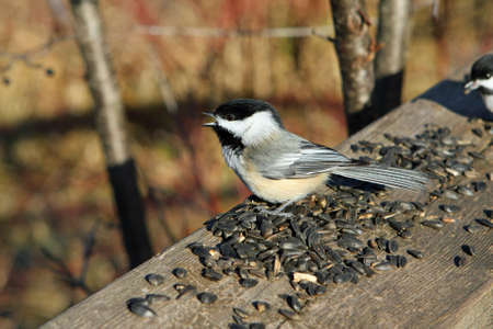 Black-capped Chickadee With Seeds photo
