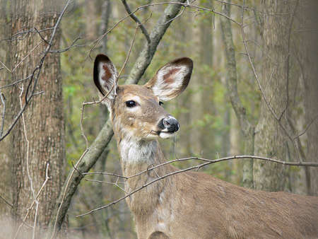 Deer White-tail Doe Stock Photo - 6772672