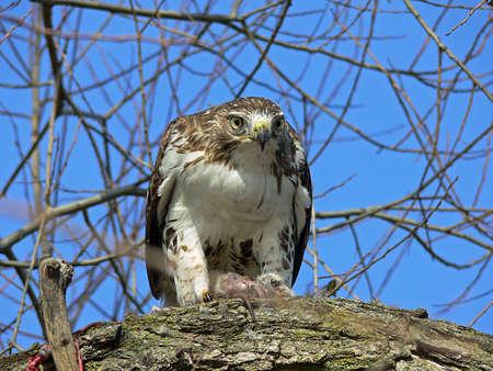redtail: Red-tailed Hawk Feeding On Marsh Rat