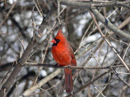 Cardinal Male In Winter photo