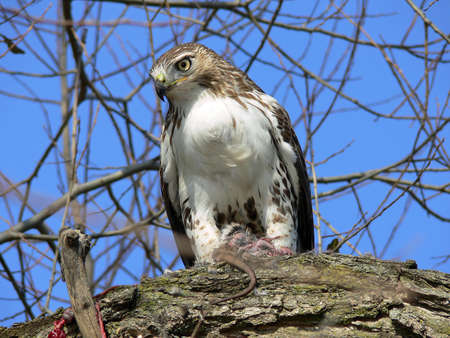 red tailed hawk: Red-tailed Hawk Feeding Stock Photo