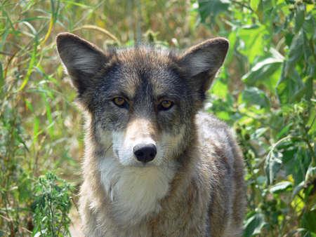 perceptive: Coyote In Grass tallolio