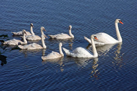 Swans Mute With Cygnets photo
