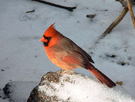 redbird: Cardinal Male Snow Background
