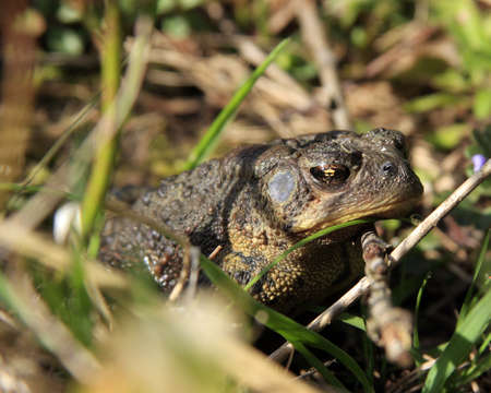 Common Toad (Woodhouses toad)