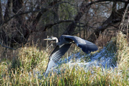 Great Blue Heron In Flight Stock Photo - 6834229
