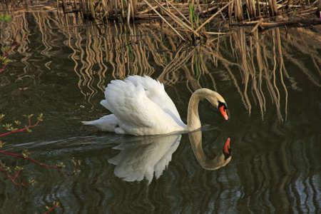 Swan Mute In Marsh Stock Photo - 6834203