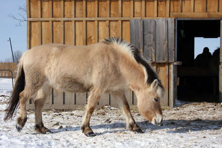 Norwegian Fjord Horse Walking To Barn photo