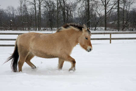 Norwegian Fjord Horse Walking In Snow Banco de Imagens