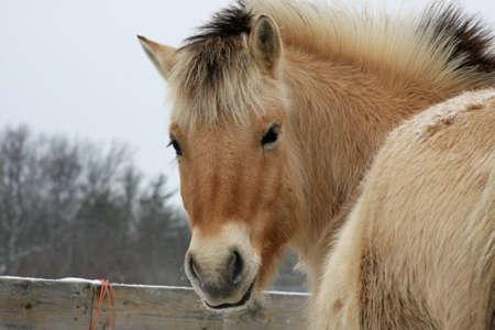 Norwegian Fjord Horse Head Shot photo