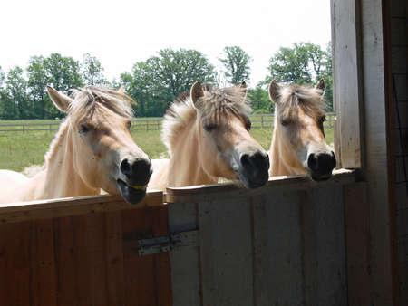 dun: Norwegian Fjord Horses Looking In Barn