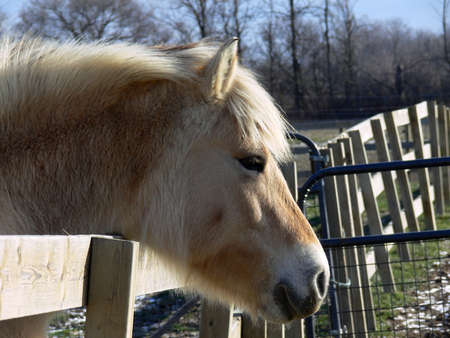 Norwegian Fjord Horse Head Over Fence photo